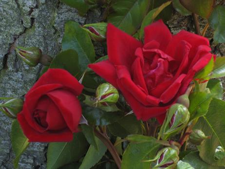 Ainsi, sur son site officiel , le prince de Galles commercialise plusieurs rosiers dont «
