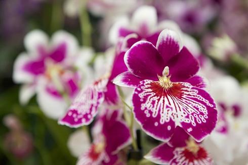 exposition d'orchidées par la royal horticural society - noblesse