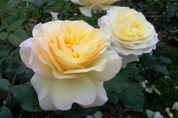 La rose Benoîte Groult